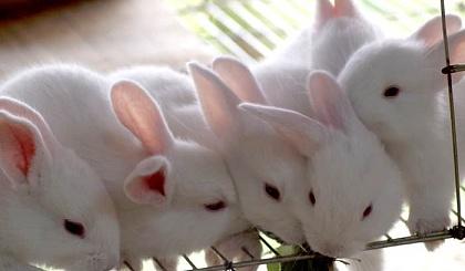 互动吧-养殖华南金兔