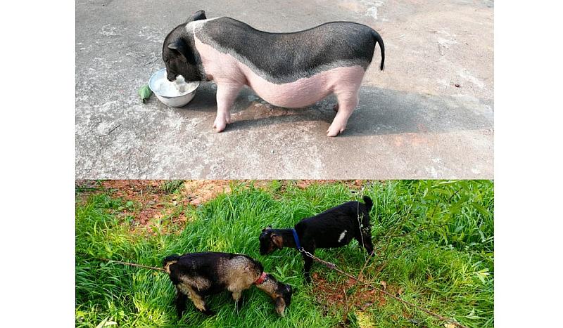格林香猪🐷与山羊认领