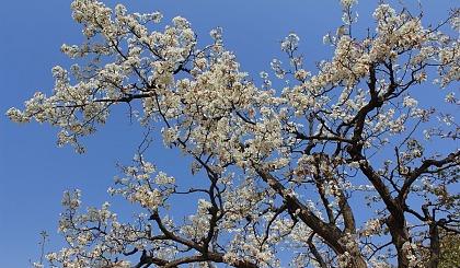 互动吧-认养一棵梨树,奉献一份爱心!